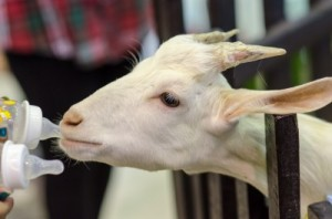 A kid (young goat) feeding from two bottles